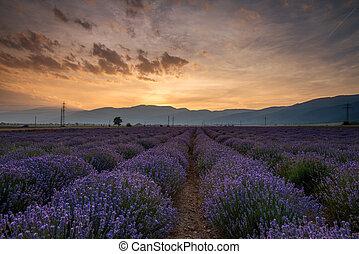 lavendel, fields., mooi, beeld, van, lavendelgebied