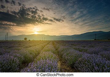 lavendel, fields., schöne , bild, von, blaßlila feld