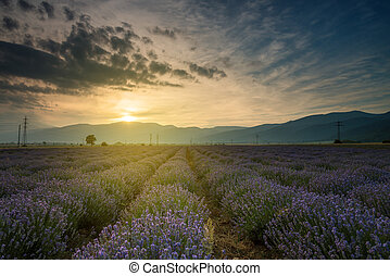 lavendel, fields., smukke, image, i, lavendel felt