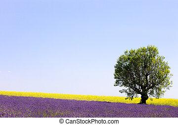 lavendel, og, gul blomstrer, blooming, felt, og, en, enlige, træ., valensole, provence, frankrig, europe.