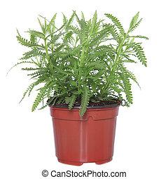 lavendel, plant, in, aardewerk, pot