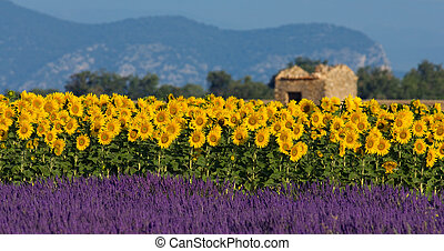 lavendel, und, sonnenblume, einstellung, in, provence,...