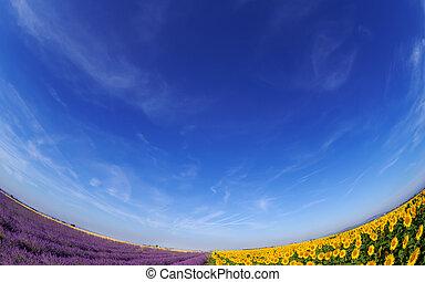 lavendel, und, sonnenblume, fileds, unter, blauer himmel