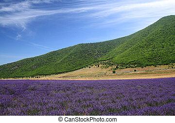lavendel, velden, met, afgelegen, bergen, en blauw, hemel