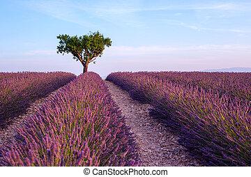 lavendelgebied, zomer, ondergaande zon , landscape, met, enkel, boompje, dichtbij, valensole