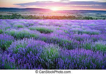 lavender., אחו