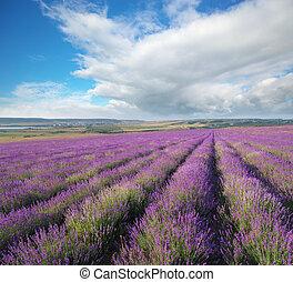 lavender., 牧草地