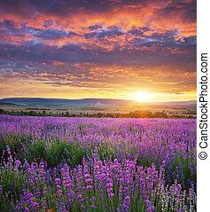 lavender., 草地