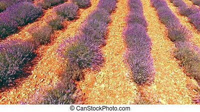 Lavender agriculture in France - Rows with purple flowers....