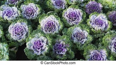 Lavender and Green Ornamental Kale in a Garden - Several ...