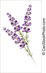 lavender., aquarela, vetorial, drawing.