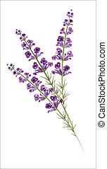 lavender., aquarell, vektor, drawing.