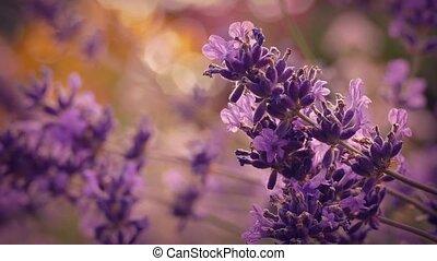 Lavender At Sunset Closeup - Macro shot of lavender flowers...