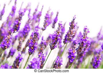 Lavender background - Botanical background of lavender herb...