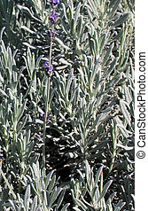 Lavender background. Selective focus.