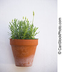 Lavender blooming in a flower pot