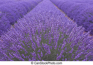 Blooming lavenders field in Provence