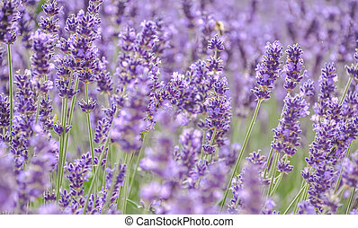 Lavender. Blooming purple lavender flowers grass meadows fields. Art photography.