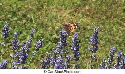 Lavender Bush - Pollination of Lavender Flowers