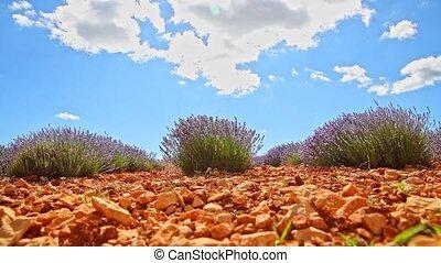 Lavender bush - timelapse - Lavender flower bushes under...