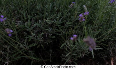 Lavender bushes - Beautiful lavender bushes close. Moving...