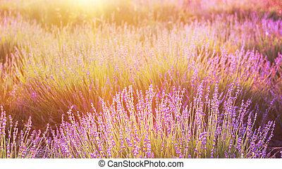 Lavender bushes closeup.