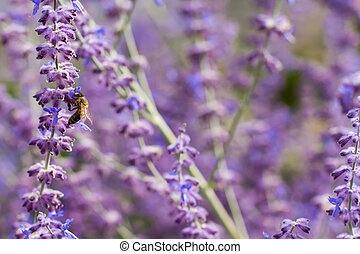 Lavender bushes closeup on sunset. Blooming lavender. Sunset gleam over purple flowers of lavender