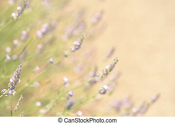 Lavender bushes closeup on sunset. Lavender field closeup. Blooming lavender