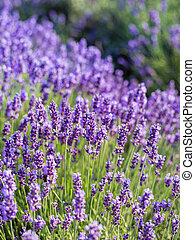 Lavender bushes closeup on sunset. Sunset gleam over purple flowers of lavender.