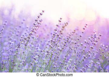 Lavender bushes closeup on sunset. Sunset gleam over purple flowers of lavender. Provence region of france