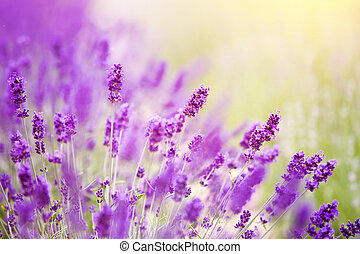 Lavender bushes closeup on sunset.
