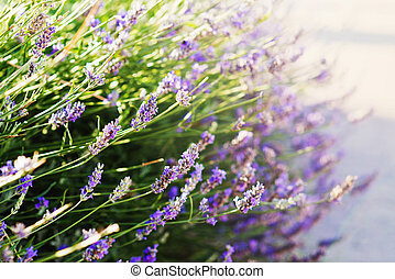 Lavender bushes closeup on sunset