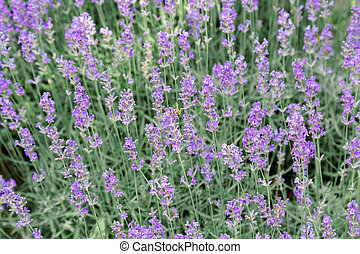 Lavender bushes flower field background. Harvesting of lavender Flowers in lavender fields in Provence region of France. Violet flower lavand with a bee. Closeup Selective focus