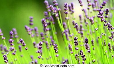 Lavender - Closeup of lavender flowers