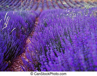 Lavender cultivated field in Provence. - Lavender cultivated...