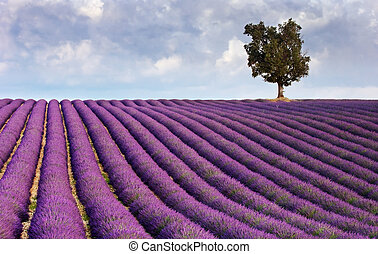 Image shows a lavender field in Provence, France, with a lone tree in the background