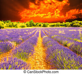 Lavender field and sunset