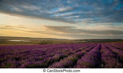 Lavender field at sunset.