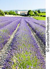lavender field, Drome Department, Rhone-Alpes, France
