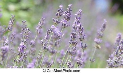 Lavender field, flowers closeup Nature concept