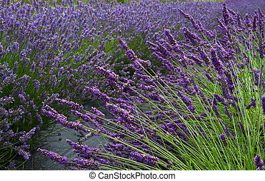 Lavender Field Horizontal Near - Lavender flower field...