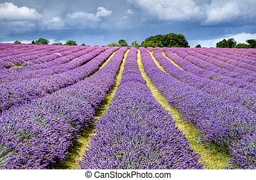 Lavender field in Banstead Surrey