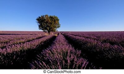 Lavender field in plateau Valensole