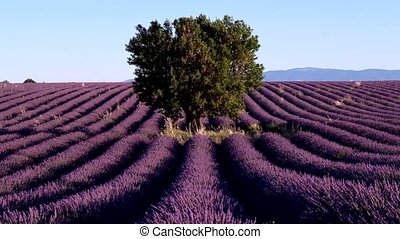Lavender field in plateau Valensole