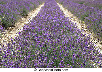 Lavender field in Provence, France. Shot with a selective focus.