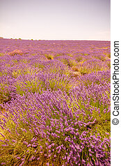 Lavender field in Provence, south of France