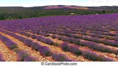 Lavender field in Provence,France - Flight over lavender...