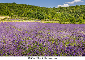 Lavender field in the south of France