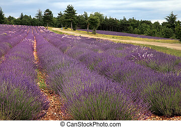 Lavender field in the summer in Provence, southern France
