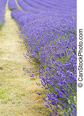 Lavender field landscape with differential focus technique giving shallow depth of field